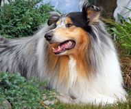 collie Royaltyfri Foto