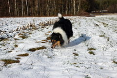 Collie on agility Royalty Free Stock Photography