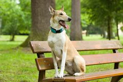 Collie at attention. On a park bench Stock Photography