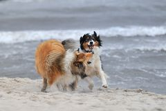 Collie an Australien Shepherd. A collie an an Australian Shepherd are playing at the strand Royalty Free Stock Images