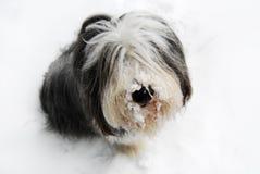 Collie barbudo en nieve Imagen de archivo libre de regalías
