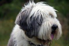 Collie barbudo en perfil Imagenes de archivo
