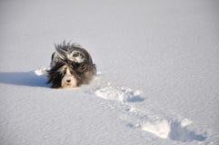 Collie barbudo que se ejecuta en nieve Fotografía de archivo libre de regalías