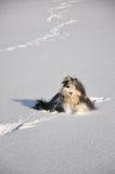 Collie barbudo y huellas en nieve Fotos de archivo libres de regalías