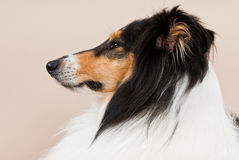 Collie bitch in profile. Portrait of a tricolored collie bitch, profile, studio shot, beige backdrop Royalty Free Stock Image