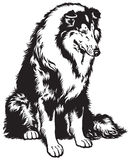 Collie black white. Rough or long haired collie, scottish shepherd dog, black and white image Stock Photo