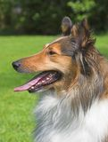 collie, blisko Fotografia Royalty Free