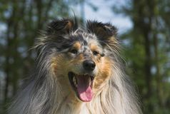collie, blisko Obrazy Royalty Free