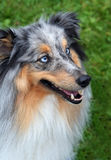 Collie with blue eyes. Waiting for it's master Royalty Free Stock Photo