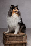 Collie on the box. Collie on the grey background Stock Images
