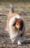 Collie breed. Beautiful dog, well-intentioned animal, devoted friend, good-looker,handsome Stock Photo