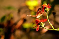 Collie butterfly feeding on flower in aviary Stock Images