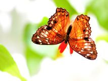 Collie butterfly on flower in aviary. Collie butterfly standing on a flower in an aviary in Butterfly World, South Florida stock image
