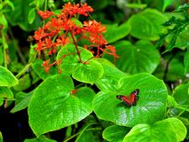 Collie butterfly in front of red flowers Royalty Free Stock Image