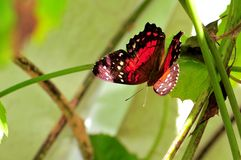 Collie butterfly standing on green leaf in aviary Stock Photos
