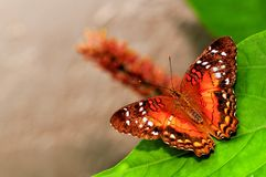 Collie butterfly standing on green leaf in aviary Royalty Free Stock Photo