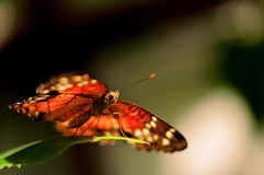 Collie butterfly standing on green leaf Royalty Free Stock Photos