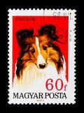 Collie (Canis lupus familiaris), Dogs serie, circa 1967. MOSCOW, RUSSIA - NOVEMBER 24, 2017: A stamp printed in Hungary shows Collie (Canis lupus familiaris) royalty free stock photography