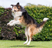 Collie catching ball Royalty Free Stock Photography