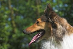 Collie Close-up. Beautiful Collie Close-up. Please comment after download royalty free stock images