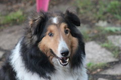 Collie. Comes to visit once in awhile. very friendly breed. Hoping for a free bite or two Stock Image