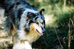Collie corrente Fotografie Stock