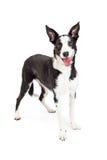 Collie Crossbreed Dog Standing mignonne et heureuse Image libre de droits