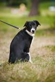 Collie de beira bonito do filhote de cachorro Imagens de Stock Royalty Free