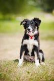 Collie de beira do filhote de cachorro Foto de Stock Royalty Free