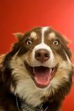 Collie de beira em um fundo vermelho Foto de Stock