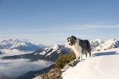Collie de beira nas montanhas Imagens de Stock