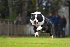 Collie de beira Running Imagens de Stock Royalty Free
