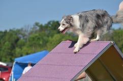 Collie de frontera azul de Merle en un ensayo de la agilidad del perro Imágenes de archivo libres de regalías