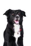 Collie de frontera blanco y negro del perro aislado Imagen de archivo