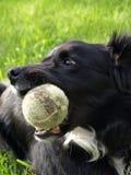 Collie de frontera con la pelota de tenis Imagenes de archivo