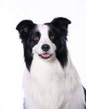 Collie de frontera del animal doméstico del perro Foto de archivo libre de regalías