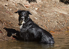 Collie de frontera del perro Imágenes de archivo libres de regalías