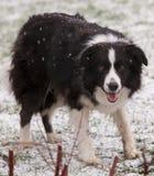 Collie de frontera en nieve Fotos de archivo