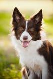 Collie de frontera marrón feliz del perro Fotos de archivo libres de regalías