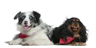 Collie de frontera y perro de aguas de rey Charles del Cavalier imagen de archivo