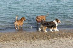 Collie, der bewundern Tölpel in Hundeparkteich anzieht Lizenzfreies Stockbild