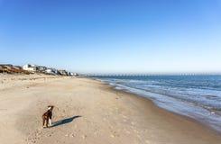 Collie di Bordeer sulla spiaggia Immagini Stock