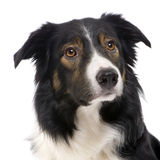 Collie di bordo (2.5 anni) fotografia stock