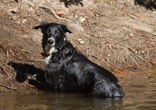 Collie di bordo del cane Immagini Stock Libere da Diritti