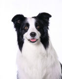 Collie di bordo dell'animale domestico del cane Fotografia Stock Libera da Diritti