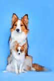 Collie di bordo e cani di Papillon in azzurro Fotografia Stock Libera da Diritti