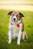 Collie di bordo rosso felice del cane Fotografia Stock