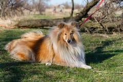 Collie do ouro do cão Fotos de Stock Royalty Free