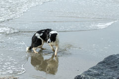 Collie do pensionista na praia Imagem de Stock Royalty Free