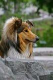 Collie dog Royalty Free Stock Photos